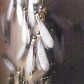 羽アリが飛ぶ時期はいつごろですか?